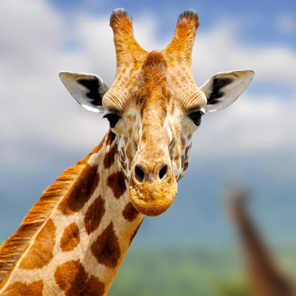 Gary's alter ego: the giraffe