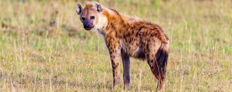 Trevor's alter ego: the hyena
