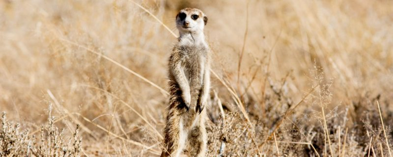 Clint's alter ego: the meerkat