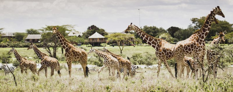 Wildlife, like giraffe and zebra, can often be seen from camp at Segera Retreat.