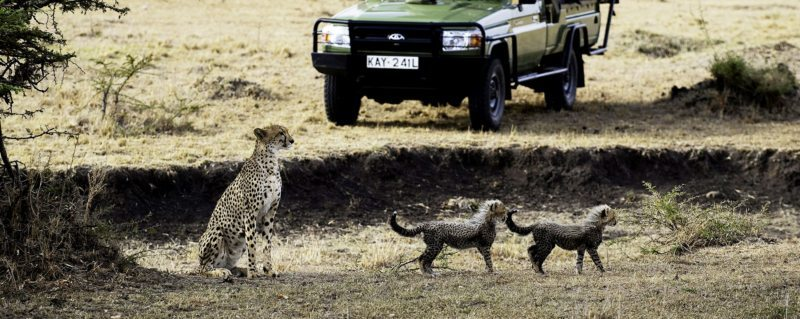 If you get really lucky you might spot a cheetah and her cubs while on a game drive from Mara Plains Camp.