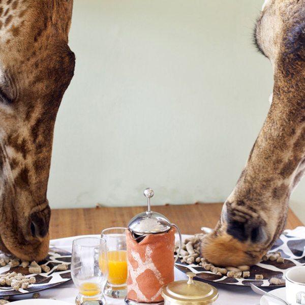 Breakfast with giraffe | The giraffe eat pellets right off your breakfast table at Giraffe Manor.