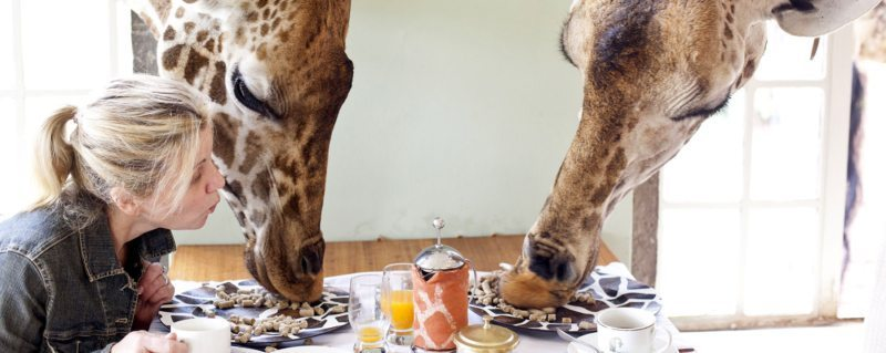 Breakfast with giraffe | The giraffe eat pellets right off your breakfast table at Giraffe Manor.