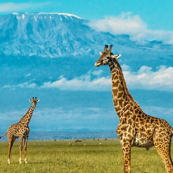 The wildlife of on a Chyulu Hills safari is presided over by Africa's towering icon, Mount Kilimanjaro.