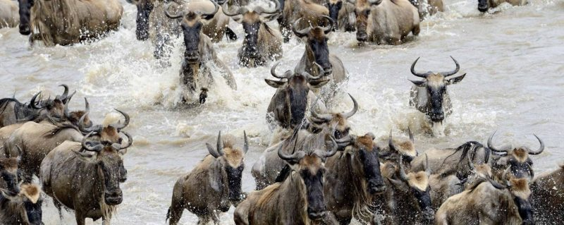 The Wildebeest migration crossing the Mara river running to river bank
