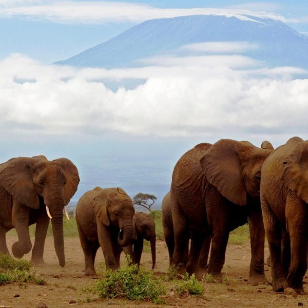 On an elephant safari you will see the more than 1,000 elephant inhabit Amboseli National Park.