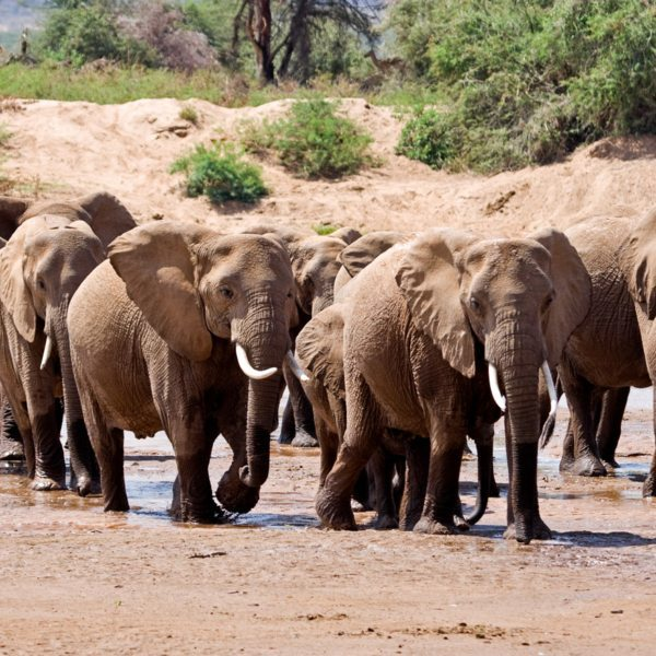 Samburu elephant safari | There are 66 elephant groups that live in Samburu National Reserve and its surrounding ecosystems.