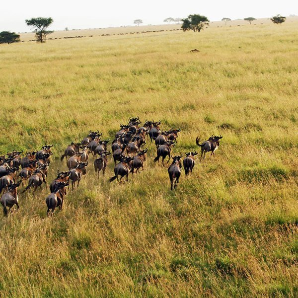 At the right time of year, you'll be able to see the Great Wildebeest Migration from a hot-air balloon.