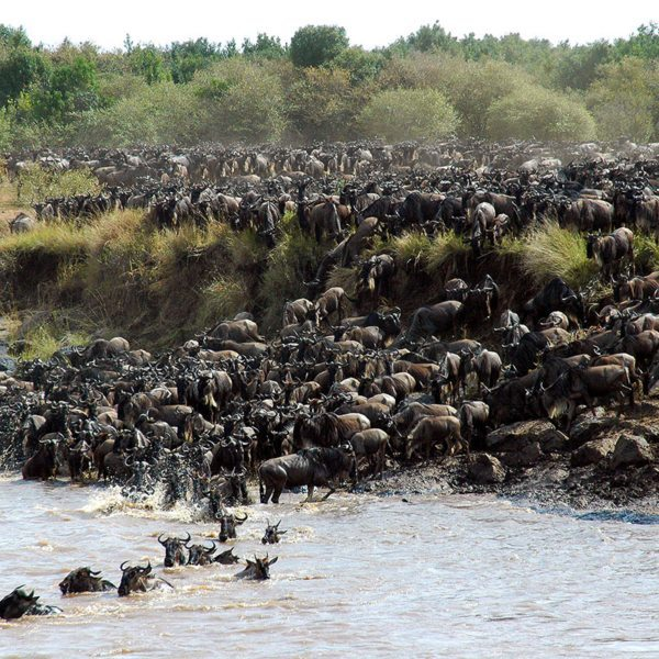 A crossing of the Mara River is one of the most amazing parts of the Great Wildebeest Migration. © &Beyond