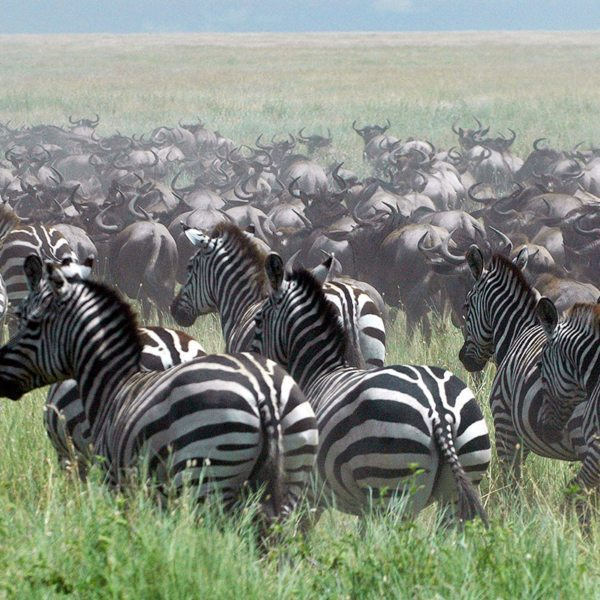 Many people don't realise that zebra accompany the wildebeest during the Great Wildebeest Migration. © &Beyond