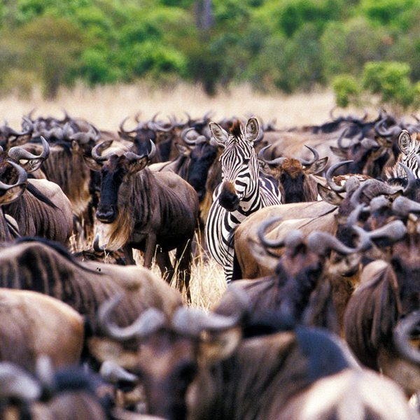 It's amazing how many animals are around during the Great Wildebeest Migration. © &Beyond