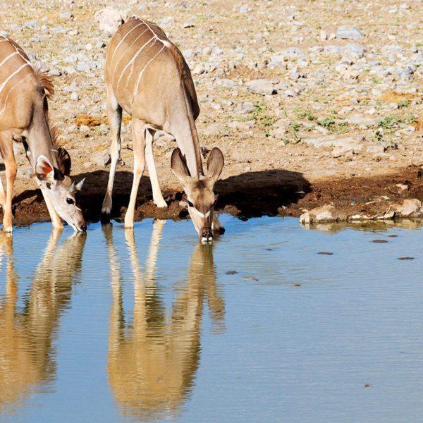 Look out for kudu drinking at waterholes in northern Kenya.