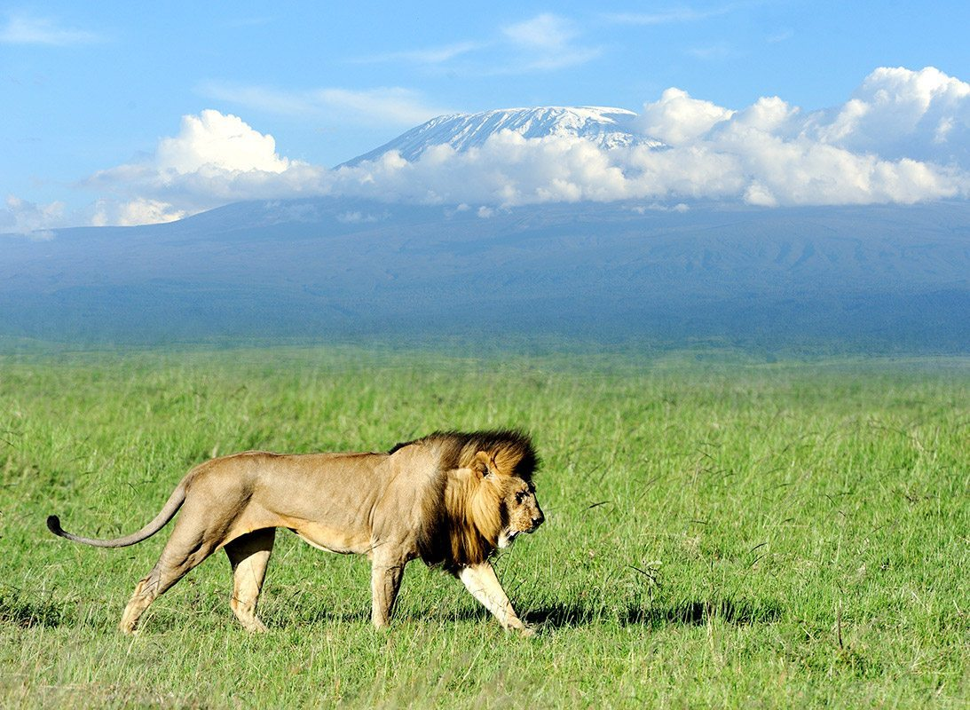 Amboseli Lion Safari