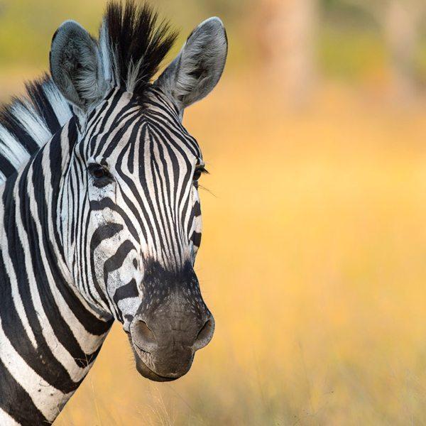 Zebra are common in northern Kenya. © Andrew Schoeman
