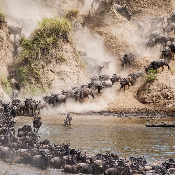 The wildebeest bunch together for safety when crossing the Mara River during the Great Wildebeest Migration. © Andrew Schoeman