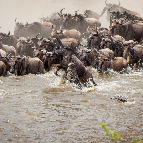 Crocodile pick wildebeest off as they cross the Mara River during the Great Wildebeest Migration. © Andrew Schoeman