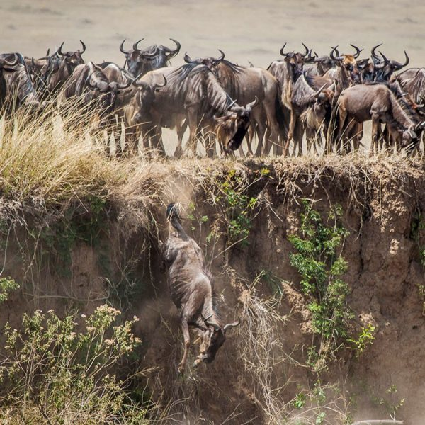 The steep sides of the Mara River make this river crossing the most impressive of the Great Wildebeest Migration. © Andrew Schoeman