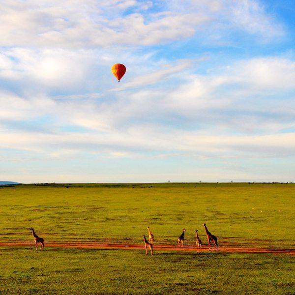 Even tall giraffe are dwarfed by a hot-air balloon safari in the Masai Mara.