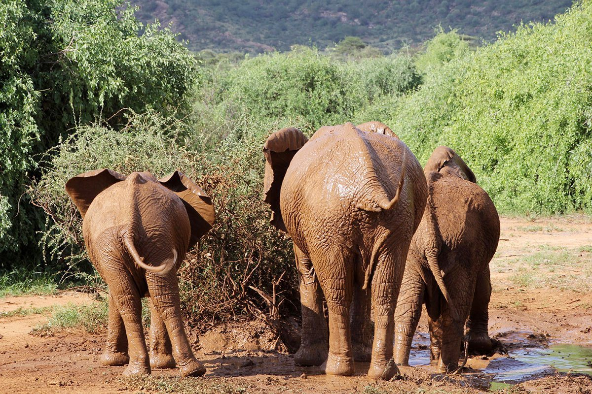 Experience Elephants On Safari In Samburu Kenya Art Of Safari