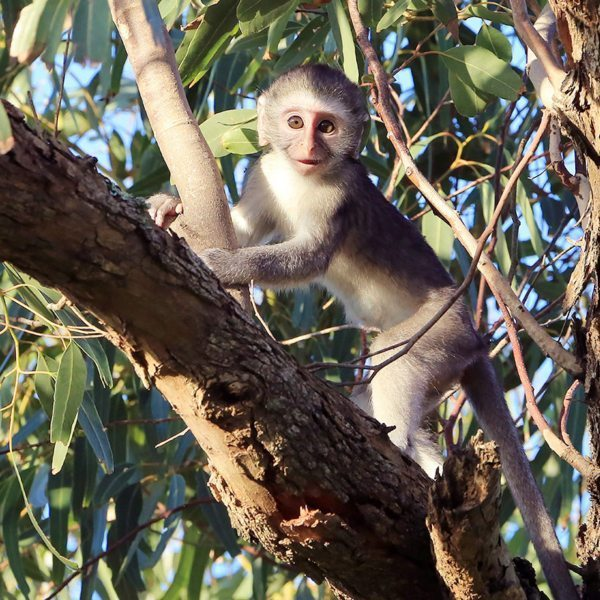 You might see vervet monkey in northern Kenya, like this playful youngster.