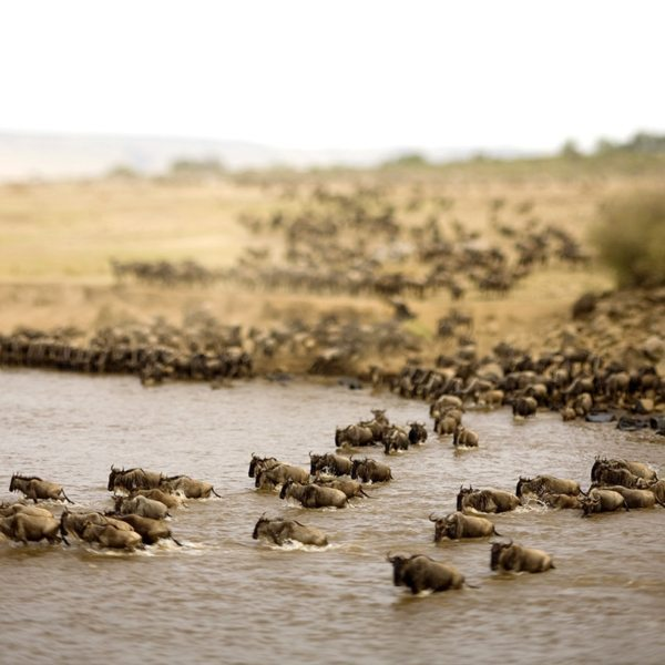 Approximately 1.5 million wildebeest cross the Mara River during the Great Wildebeest Migration. © &Beyond