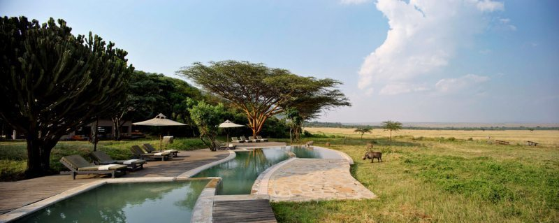A resident warthog takes a quick drink out the infinity pool at Kichwa Tembo while others wander nearby.