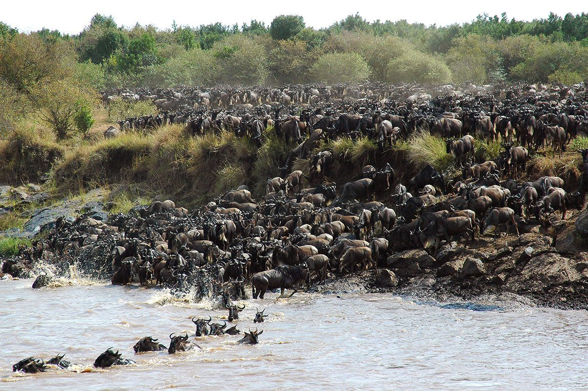 Hundreds of wildebeest start crossing the Mara River during the annual Great Wildebeest Migration in the Masai Mara. © &Beyond