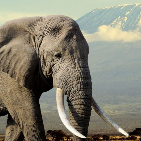 Amboseli National Park is famous for its iconic sightings of elephant with Mount Kilimanjaro in the background.
