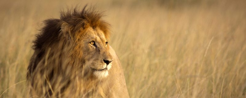 Large male lion in high grass and warm evening light - luxury kenya safari trips