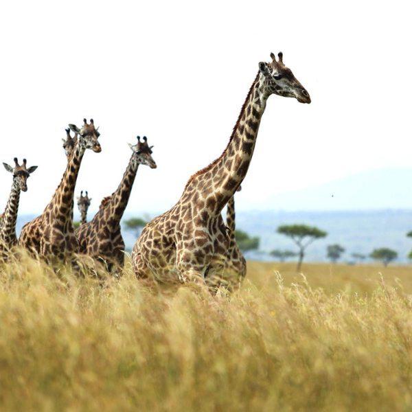 It's aways wonderful to watch giraffe elegantly moving across the Masai Mara. © Angama Mara