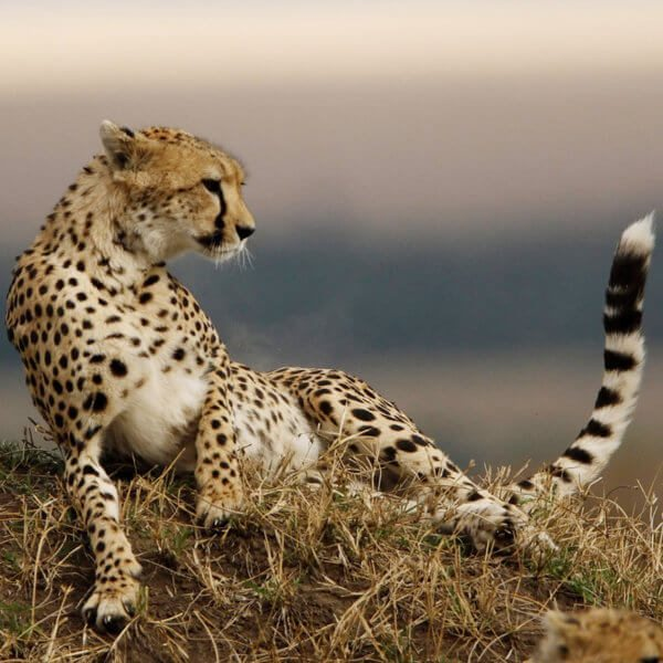 The Masai Mara is home to cheetah, like this one that's relaxing on a termite mound.