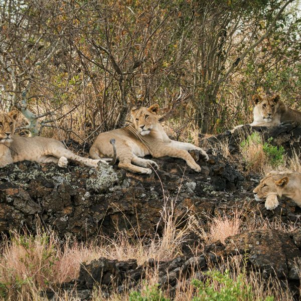 Lion can be found in the area around ol Donyo Lodge. © Great Plains Conservation