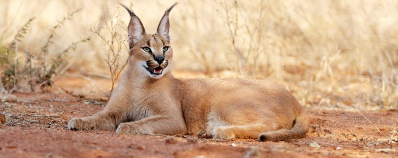 Leah's alter ego: the caracal