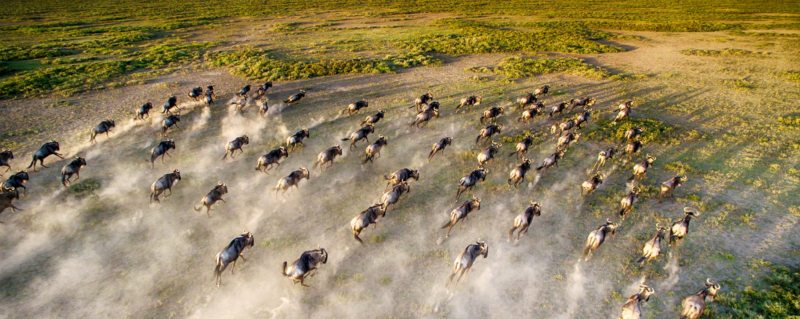 Wildebeest race across the Serengeti plains during Great Wildebeest Migration.
