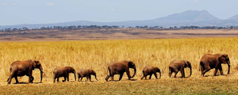 You'll be able to see migrating elephant when staying at Kuro Tarangire.