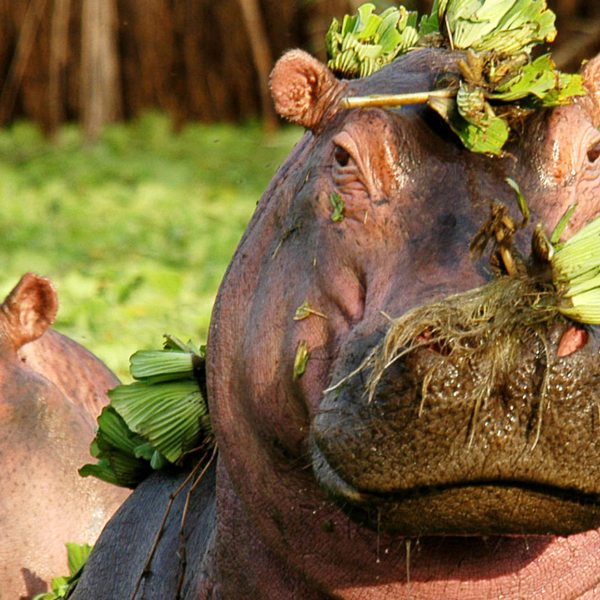 This hippo, spotted near Grumeti Serengeti Tented Camp, sure looks happy.