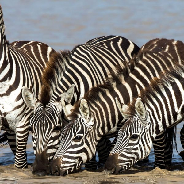 Wildlife, like zebra, drink at the river near Klein's Camp.
