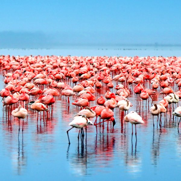 Flamingo safari | A flock of flamingo gather on Lake Nakuru.