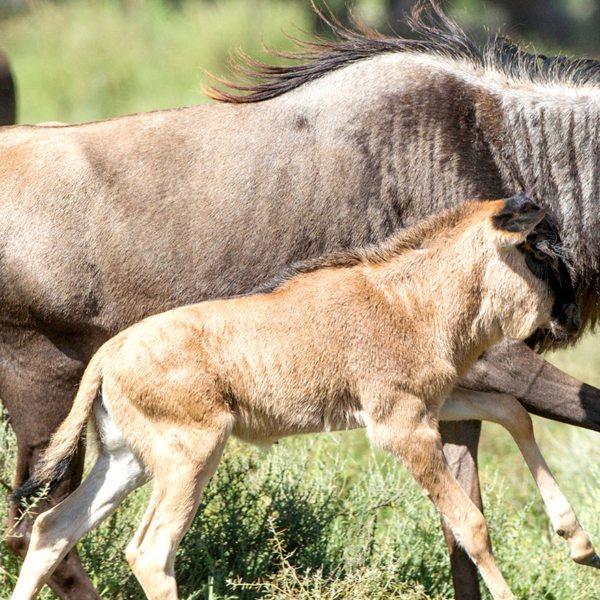 Wildebeest calving | A white-bearded wildebeest runs with her newborn calf.