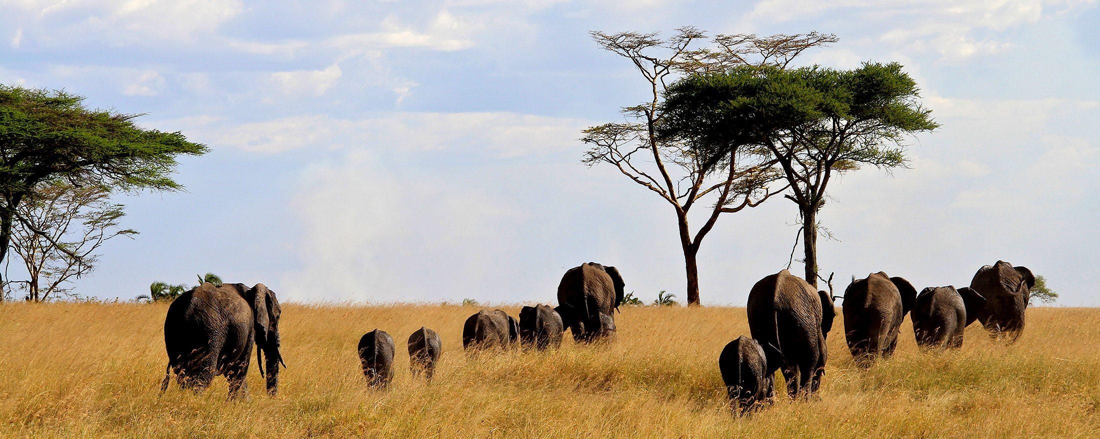 You too can embark on a Serengeti walking safari like these elephant.