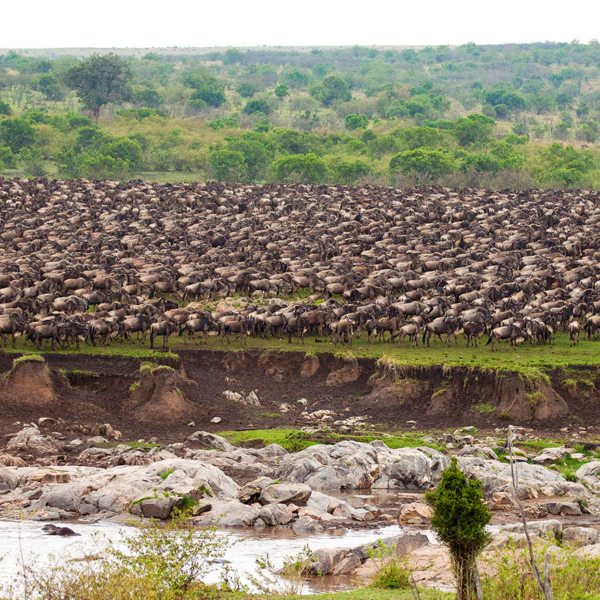 The Great Wildebeest Migration masses for the Grumeti River crossing in the Serengeti.