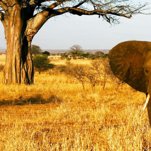Tarangire safari | Here's an iconic sight: an elephant in front of a baobab tree in Tarangire National Park.