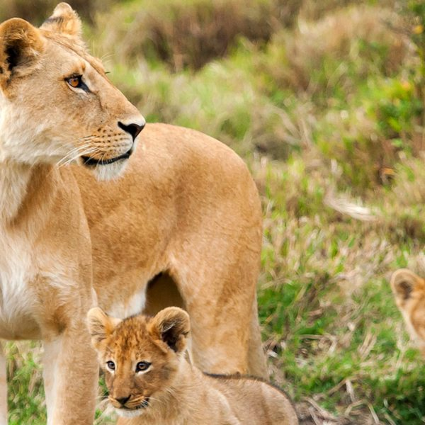 Lionesses help raise each other's cubs, so these cuties might not be siblings.