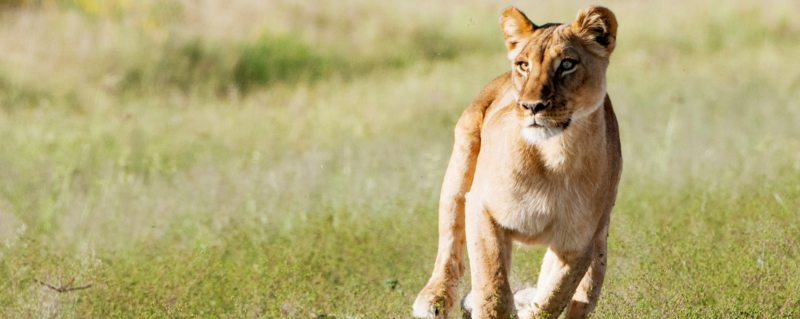 Luxury safaris in Kenya allow you to see lion, and the rest of the Big Five.