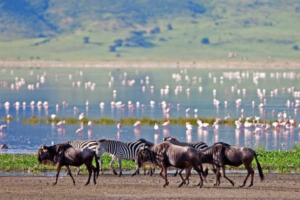 These wildebeest and zebra look magnificent against the backdrop of the flamingo. © Asilia Africa