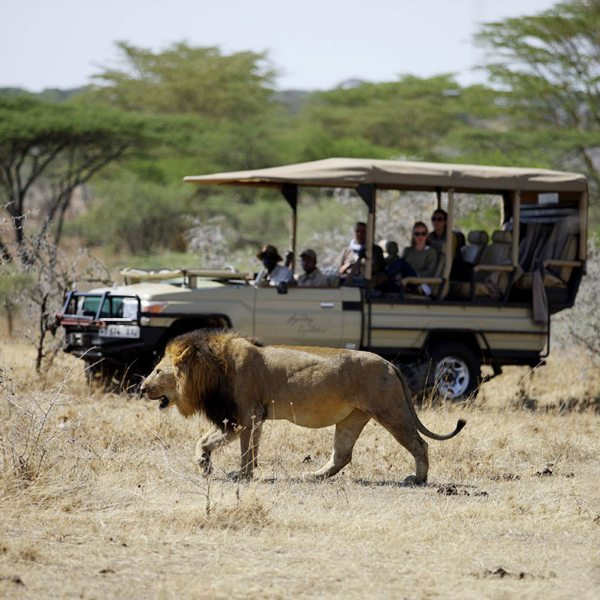 You can go off road on your game drives from Mwiba Lodge, enabling superb wildlife encounters. © Legendary Expeditions