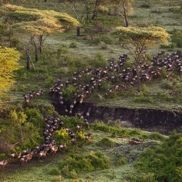 The Great Wildebeest Migration passes nearby Mwiba Lodge. © Legendary Expeditions