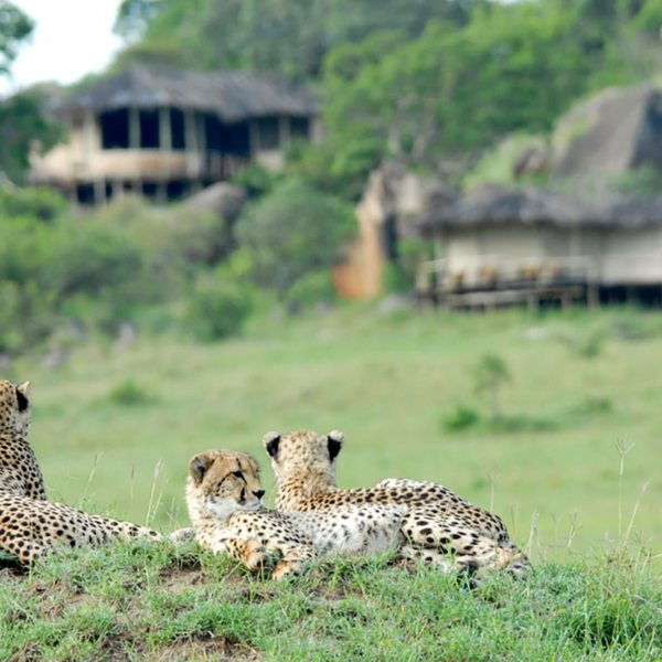 Sometimes the wildlife watches you back at Lamai Serengeti, like these cheetah. © Nomad Tanzania