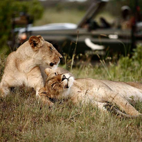Look out for lion, and other big cats, when on game drives from Klein's Camp. © &Beyond