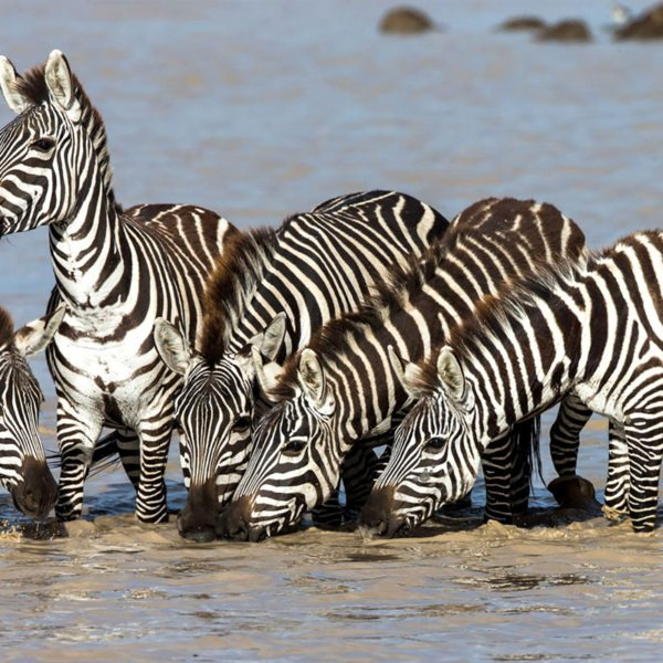 Wildlife, like zebra, drink at the river near Klein's Camp. © &Beyond